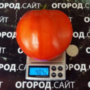 бочковой красный минусинский помидор