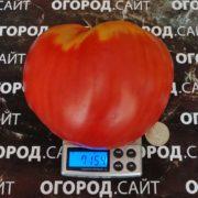 крупный томат бочковой минусинский розовый