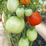 урожайный томат сорт бочонок минусинский
