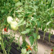 помидор минусинский бочонок в теплице