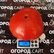 розовый томат бурлак минусинский семена