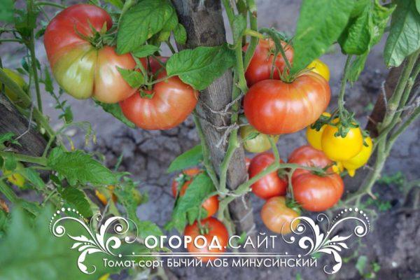 урожайный томат минусинский бычий лоб