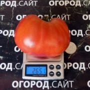 розовый помидор бычий лоб минусинский семена