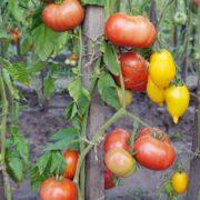 вкусный минусинский томат бычий лоб