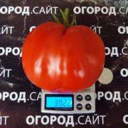 помидоры бычки минусинские
