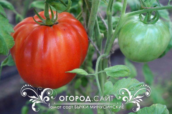 минусинские бычки томат фото