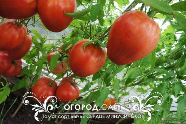 помидор бычье сердце минусинское розовое