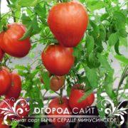 томат бычье сердце минусинское купить семена