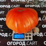 томат бычье сердце выставочное минусинское