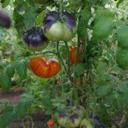 самый урожайный томат для теплицы