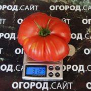 семена минусинских томатов купить почтой