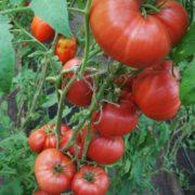 лучший томат для теплицы минусинский яблочный