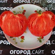 помидор минусинский из вятки фото