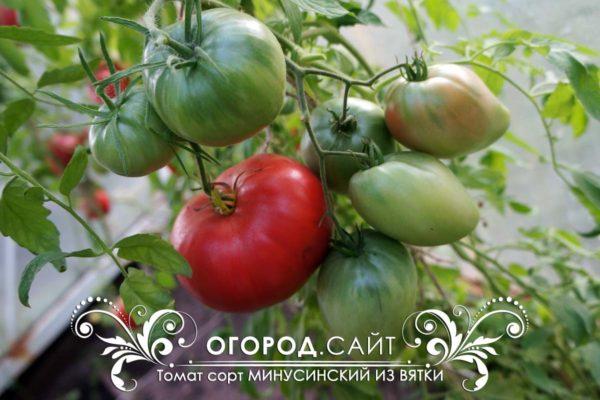 минусинский томат из вятки семена купить