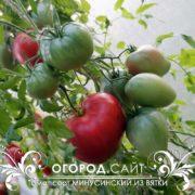 минусинский помидор из вятки