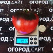 вкусный помидор сержант пеппер
