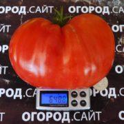 крупный сладкий томат церковь