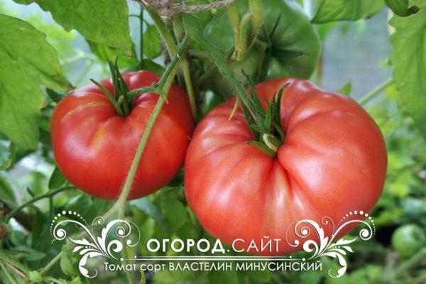 томат властелин минусинский в теплице