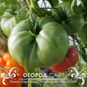 редкий сорт томатов минусинский властелин