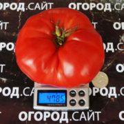 томат минусинский властелин купить семена