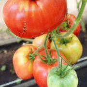 томат батяня купить семена