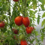 pomidor-podsinskaya-liana-minusinskaya-4