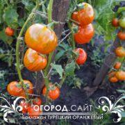 Баклажан Турецкий оранжевый в открытом грунте