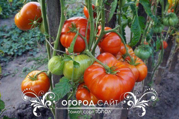 томат топол в открытом грунте