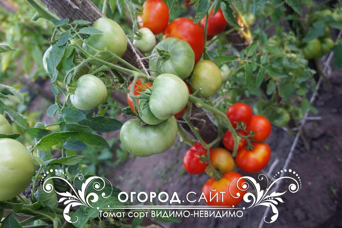 современные томат видимо невидимо отзывы и фото перебазируют польшу