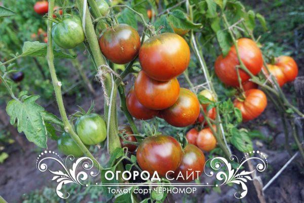 томат черномор фото урожайность описание сорта