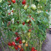 урожайность томата чио чио сан