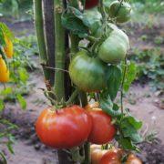 томат чудо земли купить