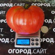 томат чудо земли отзывы фото урожайность
