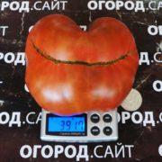 Гном томатный Дикий Фред