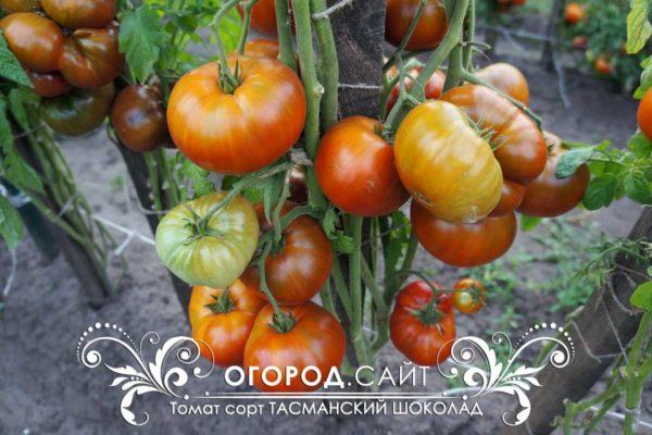купить редкие семена томатов у коллекционеров
