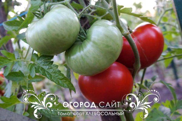 томат хлебосольный фото