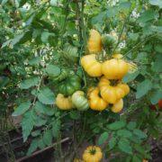 томат измайловский ребристый урожайность