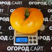 Томат Казахстанский жёлтый