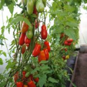 томаты заказать у коллекционеров