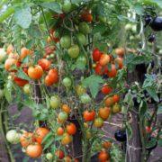 томат лебяжий пух фото урожайность