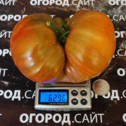 крупный сорт томата медная река