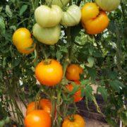 томат оранжевая клубника характеристика описание сорта