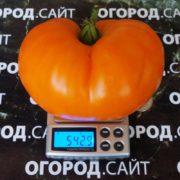 сорт томатов оранжевая клубника фото