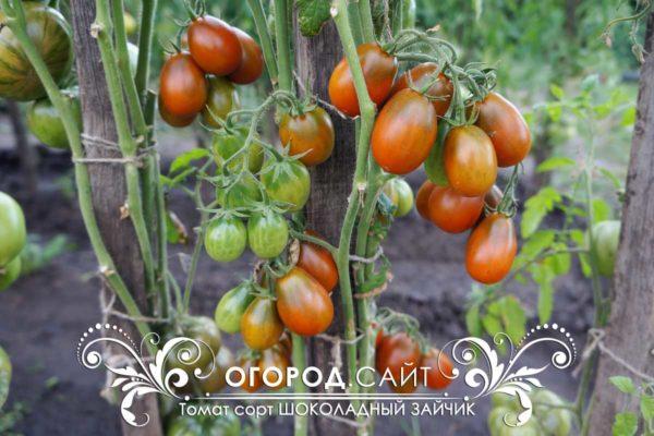 сорт томата шоколадный зайчик фото описание