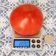 томат цифомандра фото урожайность характеристика