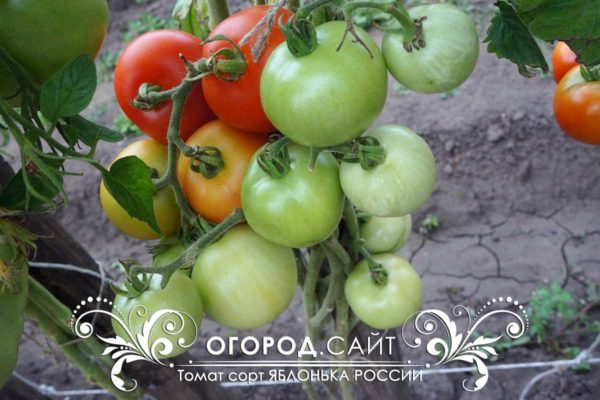 сорт томатов советских времен Яблонька России