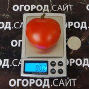 томат яблонька описание сорта фото