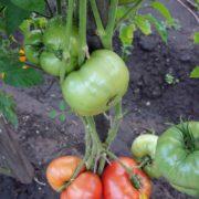 томат гигант новикова фото урожайность