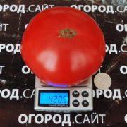 купить семена томата гигант новикова