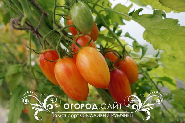 томат стыдливый румянец, котя f1